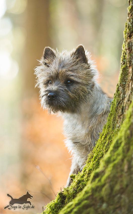Cairn Terrier Wwwdogs In Sightde Part 3